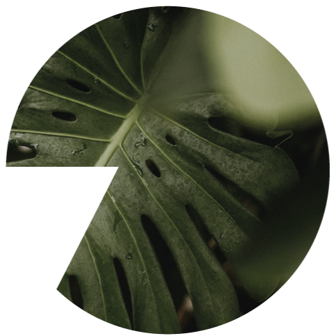 Close-up shot of a leaf of a Delicious Monster plant.